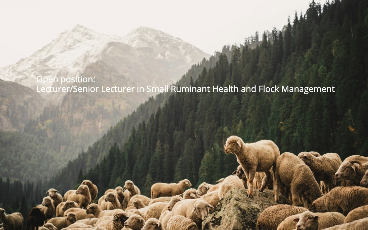 Open position – Lecturer/Senior Lecturer in Small Ruminant Health and Flock Management